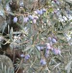Demi Olive Oil