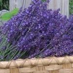 North Winds Lavender Farm